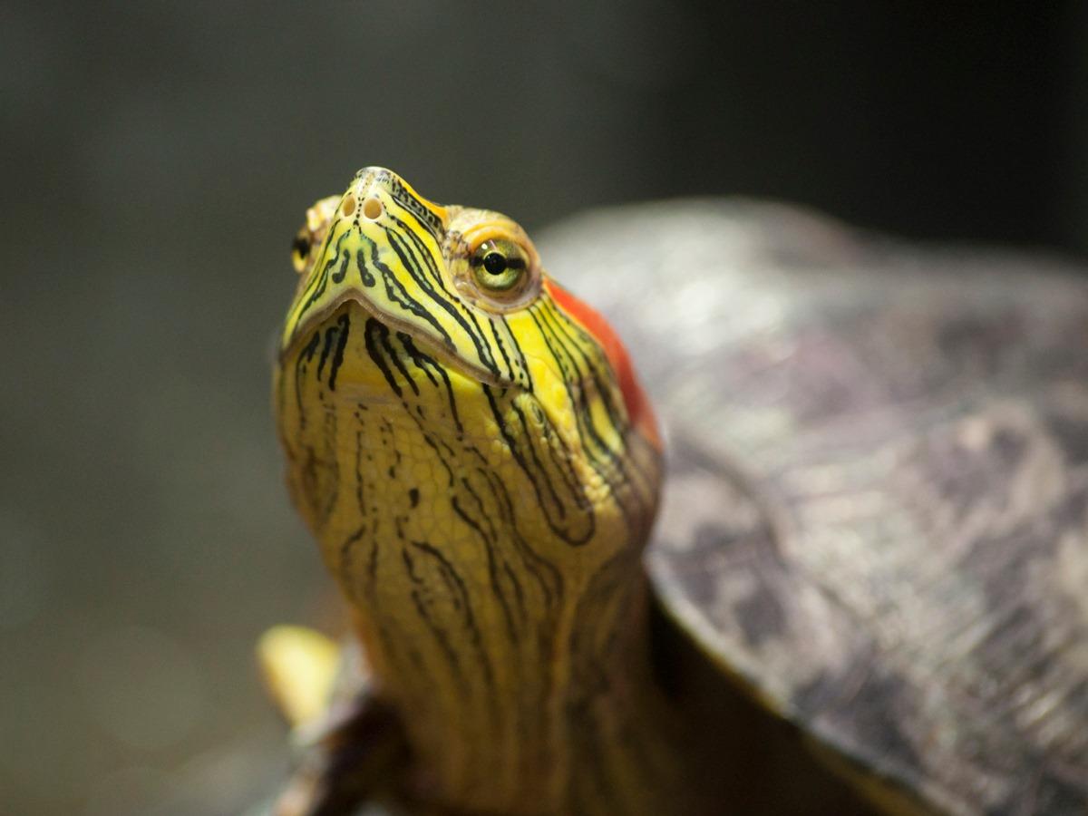 Crvenouhe-kornjace-javni-akvarijum-i-tropikarijum-beograd